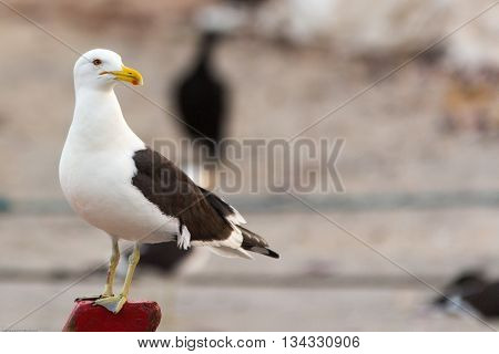 Seagull resting near the shore after fishing