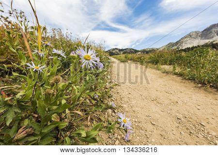 Showy Daisy/Fleabane wildflowers near a dirt road in alpine meadows in Albion Basin close to Salt Lake City