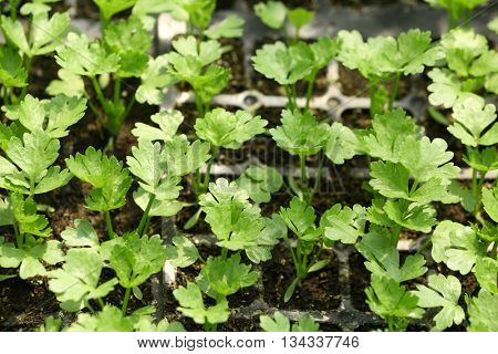 Young plants growing in greenhouse, closeup