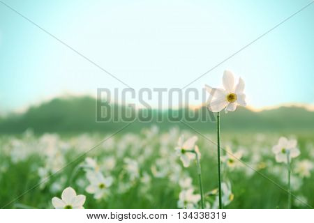Beautiful narcissus flowers on meadow