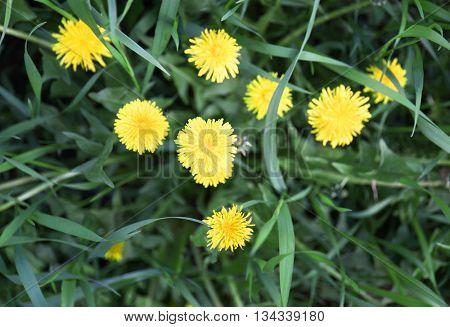 Beautiful dandelion flowers on green grass background