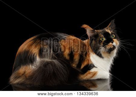 Three Colored Maine Coon Cat Lying on Mirror and Looks at Side Isolated on Black Background