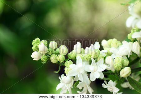 Blooming lilac on natural background