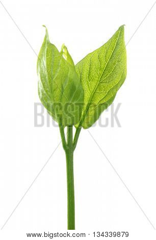 Green branch isolated on white