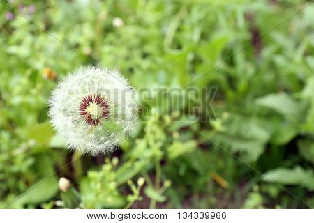 Dandelion on green meadow