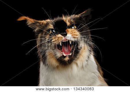 Aggressive Hiss Maine Coon Cat, Looking in Camera Isolated on Black Background