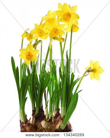 Beautiful narcissus isolated on white