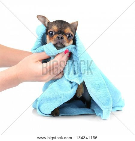 Female owner drying chihuahua puppy after bath isolated on white
