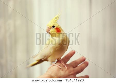 Yellow cockatiel on female hand