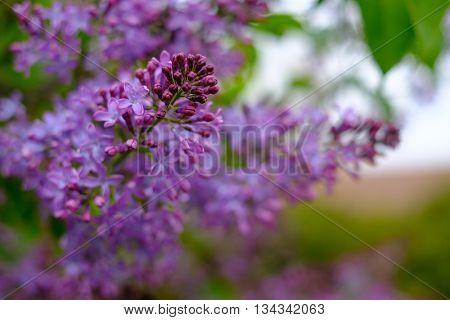 Pink blooming lilac tree macro