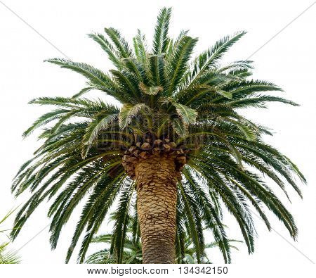 Palm Tree Crown in the Sunlight on the Bright Sky Background
