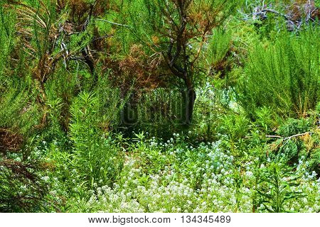 Sagebrush surrounded by white wildflowers during spring