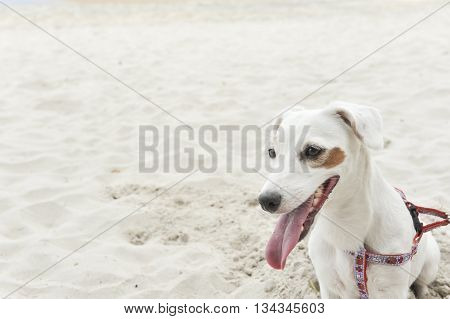 Jack Russell Terrier dog on beach background