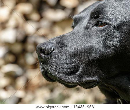 The head of a black Labrador Retriever
