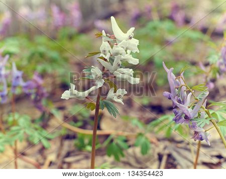 Corydalis, Flower White And Purples