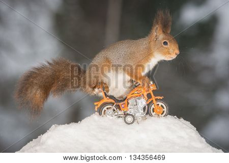 red squirrel in snow with motor cycle