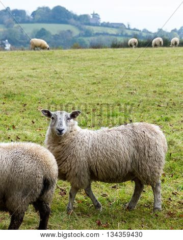 Sheep grazing in rural Northern Ireland farmland.