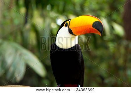 Toucan bird on the nature in Foz do Iguacu, Brazil