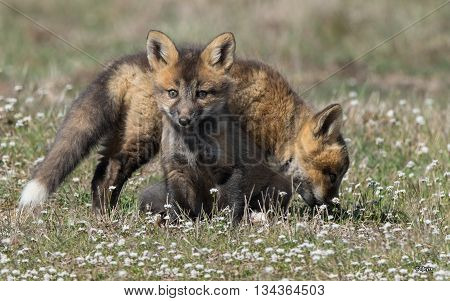 Two North America red kit foxes are playing around