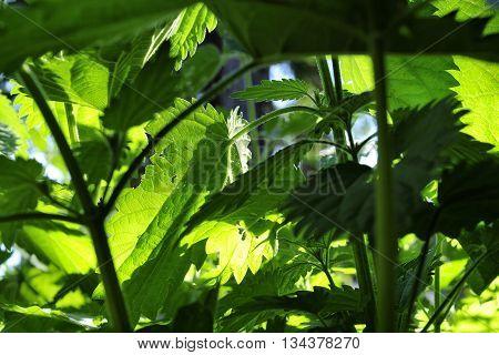 closeup nice green leaf of nette plant