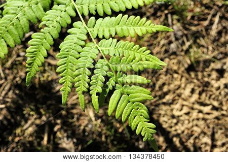 closeup nice green fern leaf in the forest