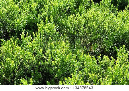 nice green blueberry bushes in the forest