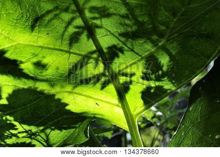 nice closeup big green burdock leaves in meadow