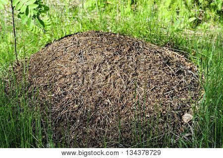 big nest of ants in the forest