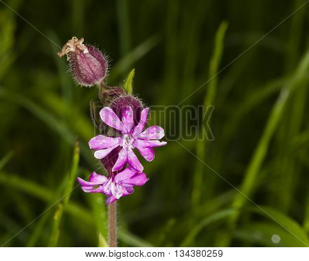 Red Campion Silene Dioica flowers on fluffy stem with dark bokeh background selective focus shallow DOF