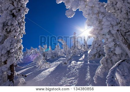Snow covered trees in the sunshine following heavy snowfall Mammoth Mountain California United States