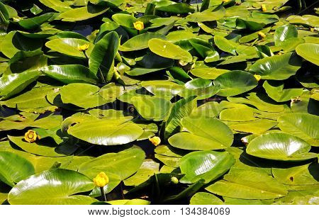 Photo of leaves of water lilies growing on the pond in the park a beautiful sunny day. Interesting background and texture. Horizontal view.