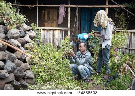 ROAD TO LALIBELA ETHIOPIA - AUGUST 23 2015: Unidentified person work in a khat farm. Chewing khat is legal in Ethiopia and the leave of the trees are exported especially in arabian countries.