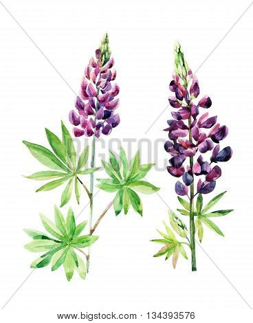 Watercolor lupines set isolated on white background. Watercolor meadow flower for floral background. Hand painted garden illustration