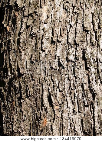 The beautiful bark of tree with deep crinkles