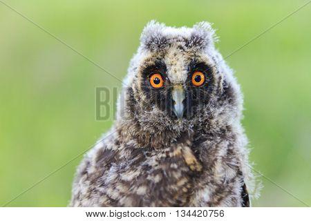 big eyes baby owl, night bird flew off the bay, bird watching