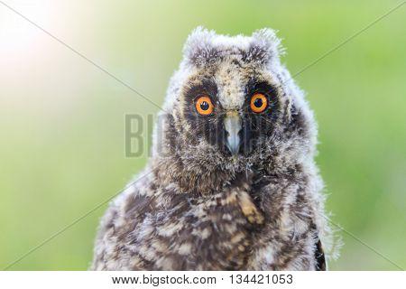 big eyes baby owl, night bird flew off the bay, bird watching with sunny hotspot
