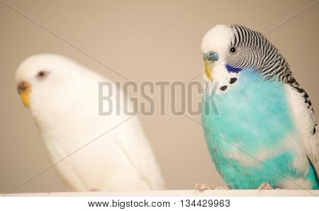 Blue and a white budgie sitting next to each other.