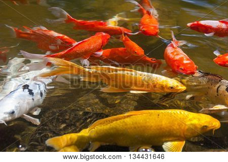 Yellow, Gold, Red, And White Koi, Also Known As Nishikigoi, Domesticated Common Carp For Garden Pond