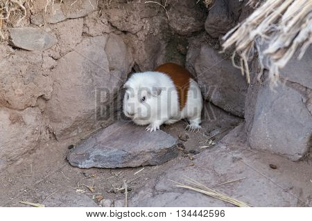 Guinea Pig Or Cavia Porcellus Is Bred For Food In Andes  Mountains