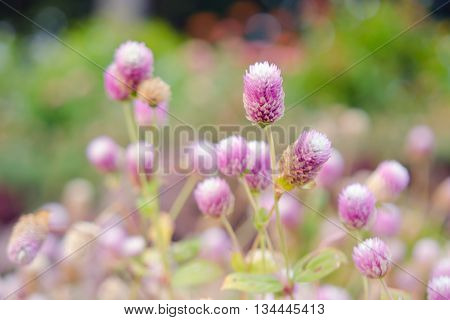 Globe Amaranth Flower (Other names are Amaranthus Tampala Tassel Flower Flaming Fountain Fountain Plant Joseph's Coat Love-lies-bleeding Amaranth Molten Flower Prince's Feather and Summer Poinsettia) poster