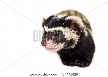 Muzzle of marbled polecat (Vormela peregusna) on white cloth background.Vulnerable species in the IUCN Red List.