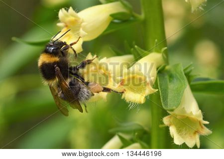 A close-up image of a Bumble bee visiting a Yellow Foxglove.