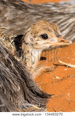 Closeup Of An Ostrich Chicken Lying At Her Mother In Red Sand