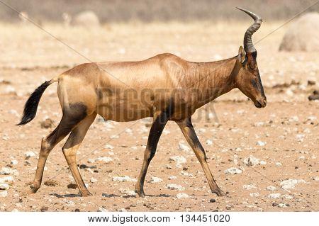 Portrait Of Wakling Red Hartebeest