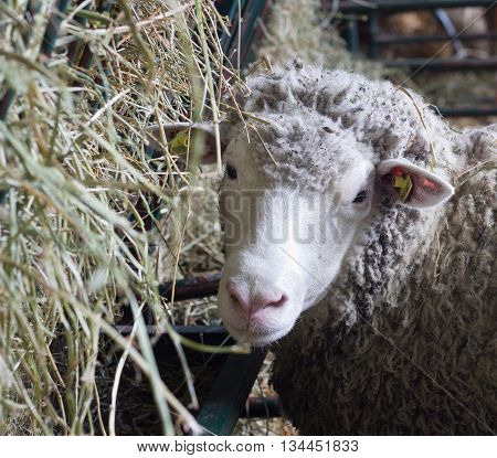 Sheep Beside Manger With Hay