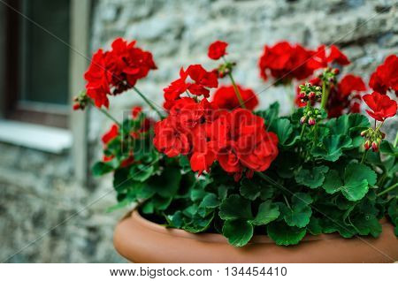 Red garden geranium flowers in pot close up shot / geranium flowers. pelargonium