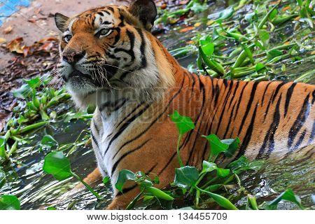 Bengal Tiger (Panthera tigris) chilling in the water
