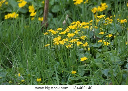 Marsh Marigold Or Kingcup (caltha Palustris) With Blossoms