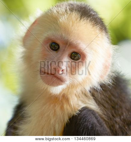 Close-up portrait of white headed capuchin monkey in a forest of Honduras
