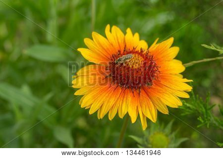 Lonely Indian blanket flower with tiny insect gathering nectar on in the summer garden